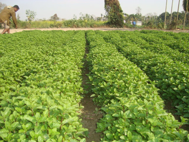 Image result for peppermint farming